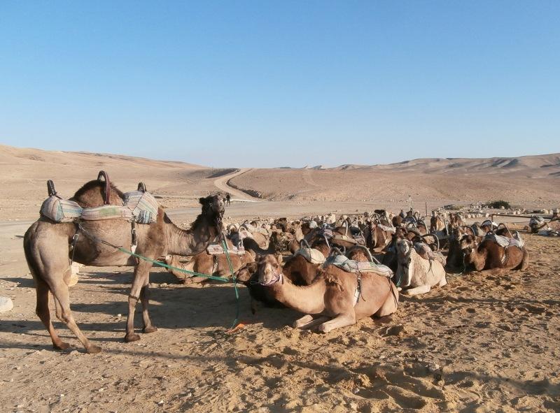 Верблюды отдыхают после ночной смены.